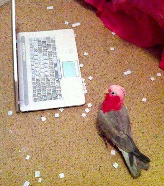 попугай рядом с ноутбуком