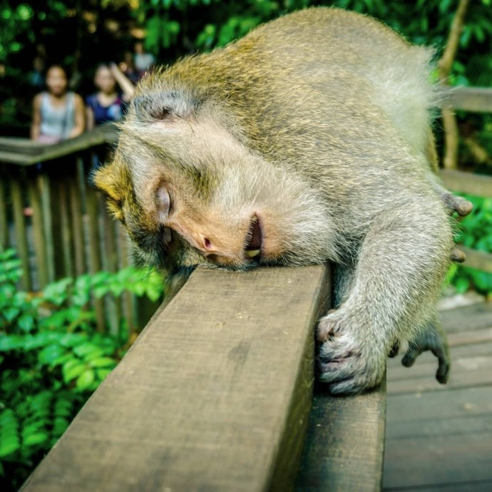 обезьяна спит