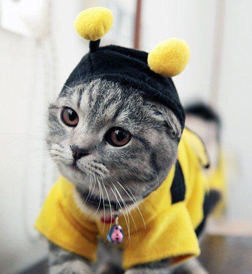 кот в костюме пчелы