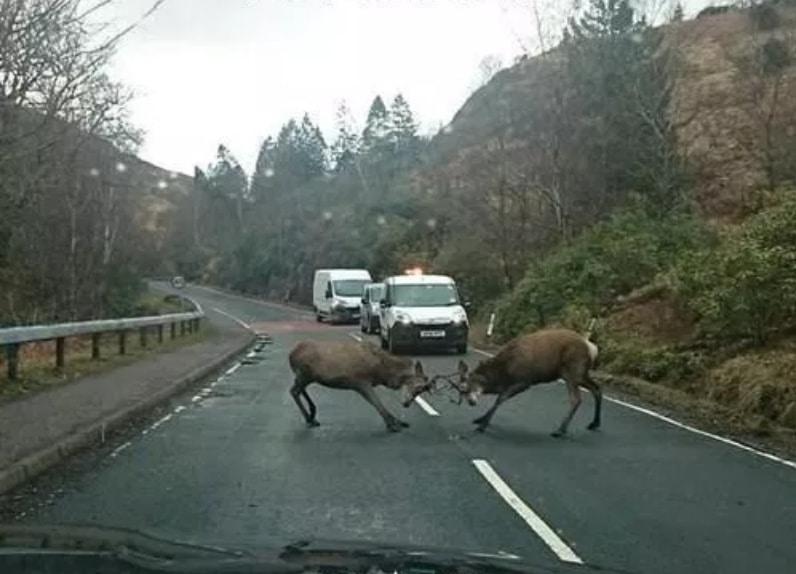 лоси дерутся на дороге