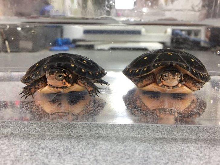 две черепашки