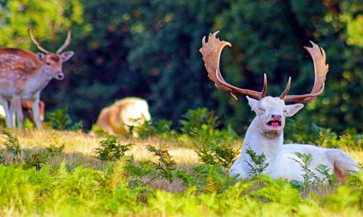 олень альбинос
