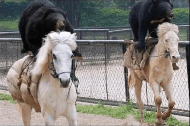 медведи на лошадях