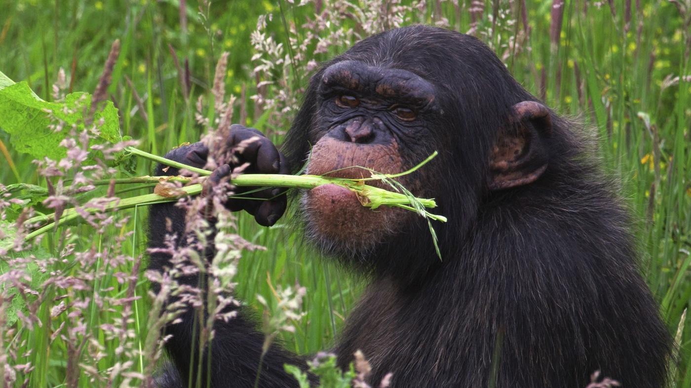 обезьяна с едой