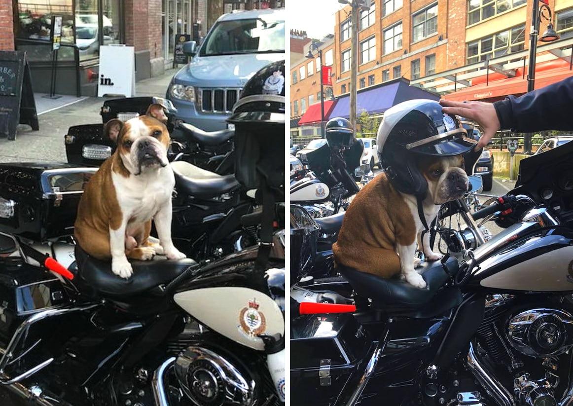 бульдог на мотоцикле