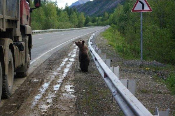 медвежонок на дороге