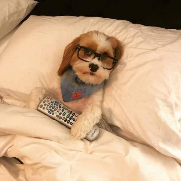 собака в очках с пультом в кровати