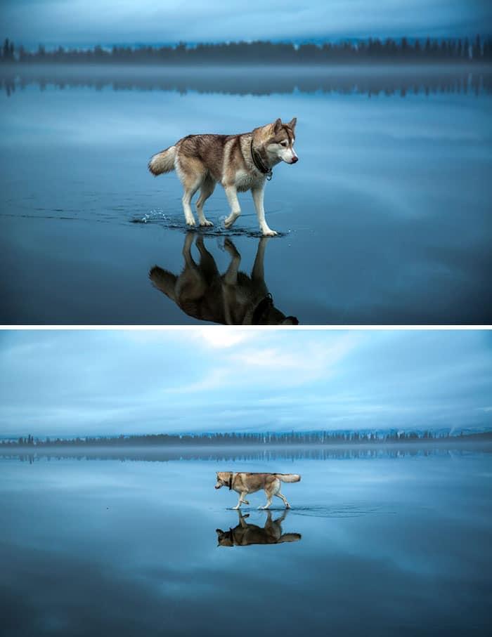 хаски ходит по воде