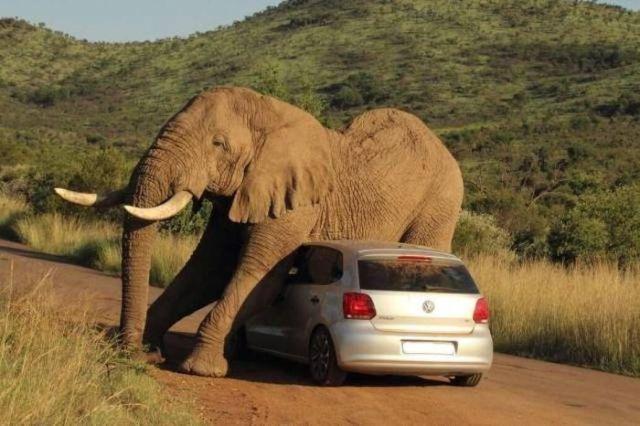 слон на машине