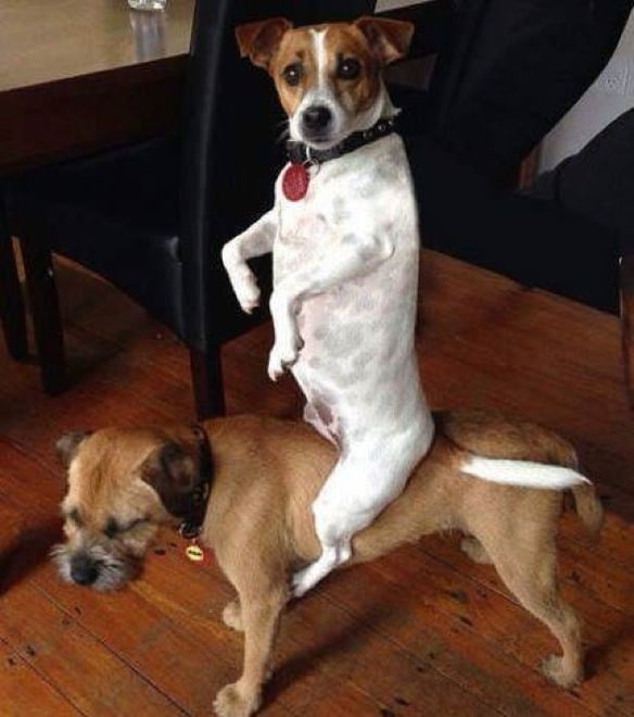 собака сидит верхом на собаке