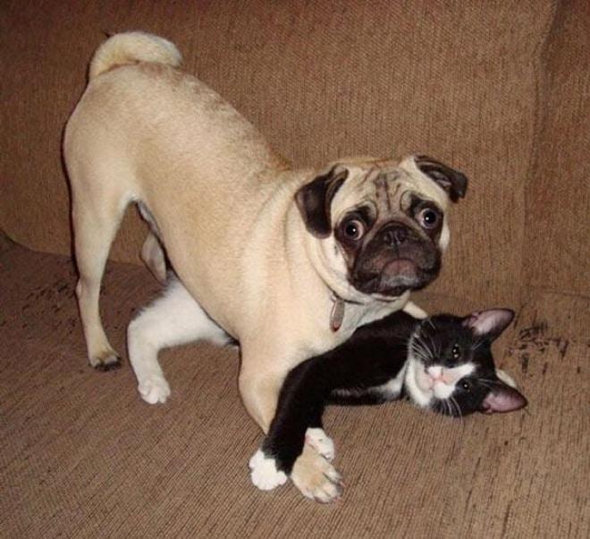 мопс с котом