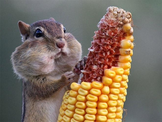 бурундук с кукурузой