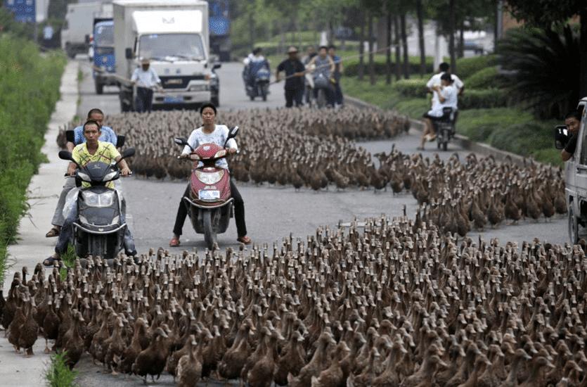 гуси на дороге