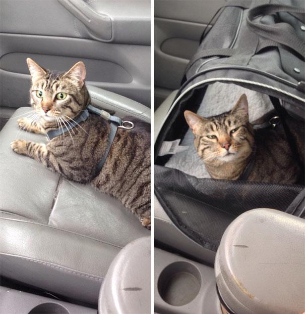 полосатый кот в машине