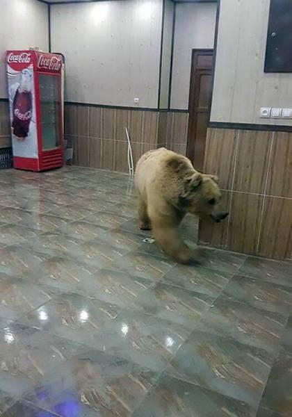 медведь в помещении