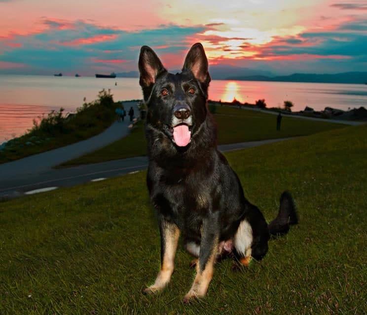 собака на траве, закат