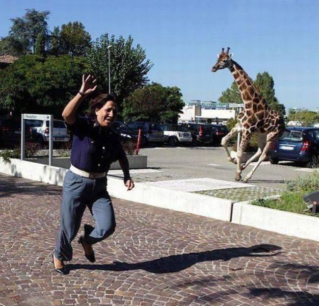 мужчина убегает от жирафа