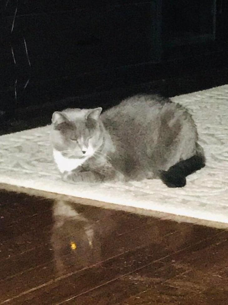 серый кот на полу