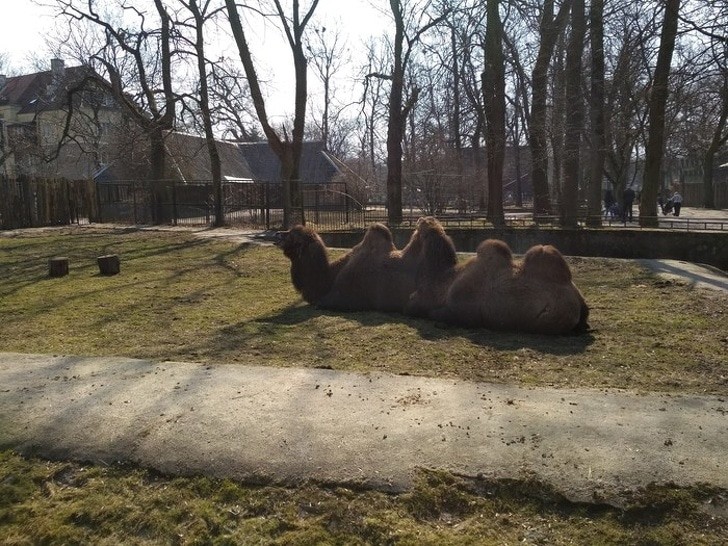 два верблюда лежат на траве