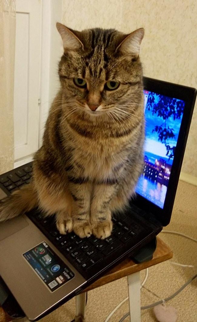 полосатый кот сидит на ноутбуке