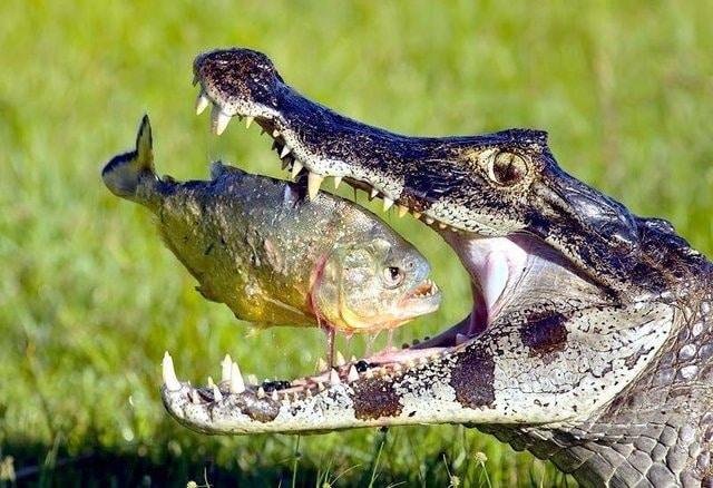 обед крокодила