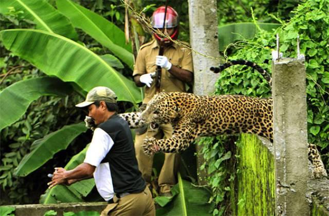 леопард прыгает на мужчину