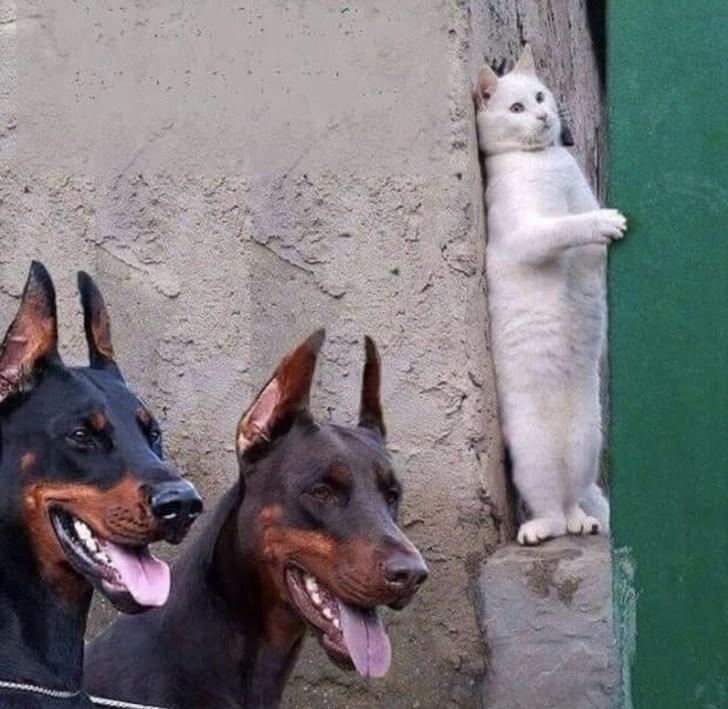 кот и доберманы