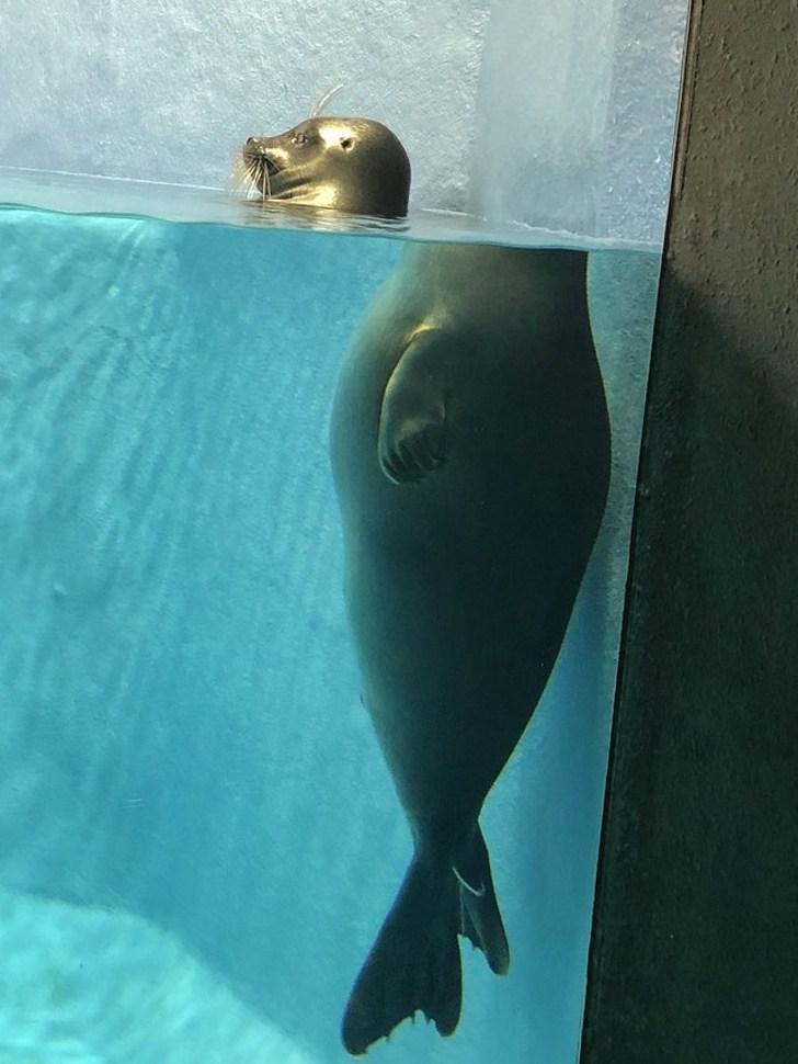 тюлень в воде