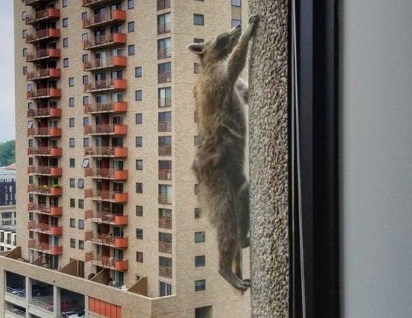 енот ползет за окном