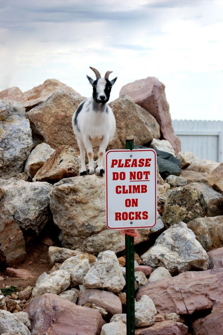 коза на камнях