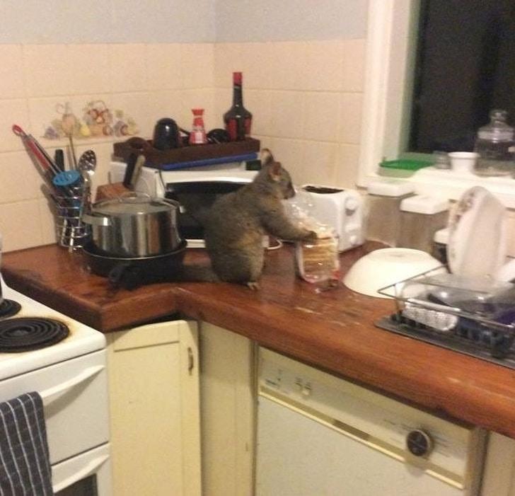 белка на кухонном столе
