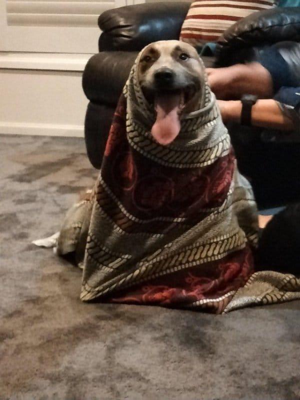 собака закутана в плед