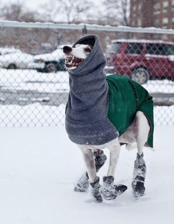собака в свитере на улице