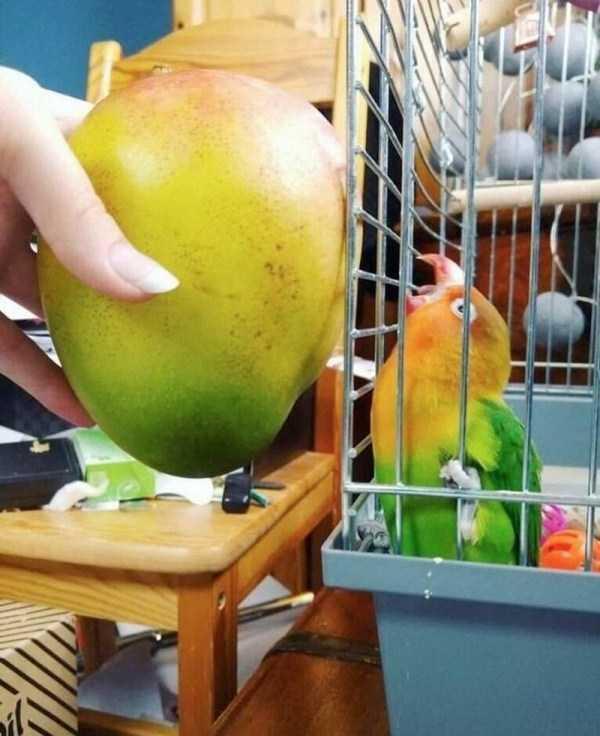 попугай в клетке и фрукт