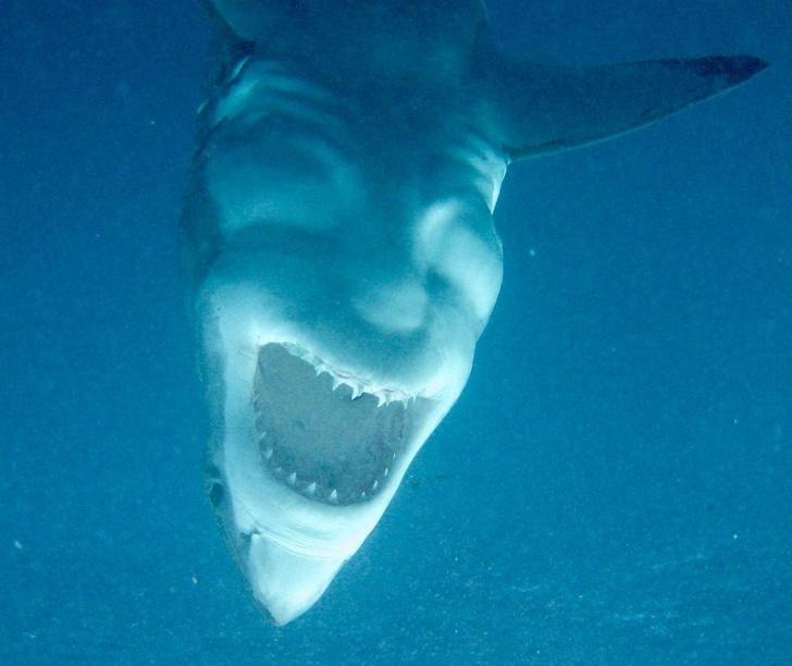 акула с открытой пастью
