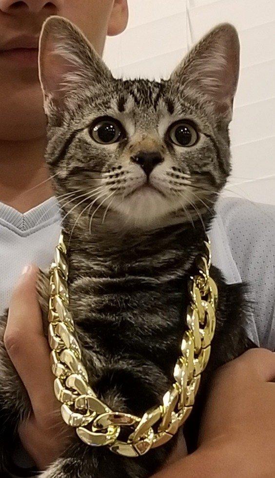 кот с золотой цепью на шее