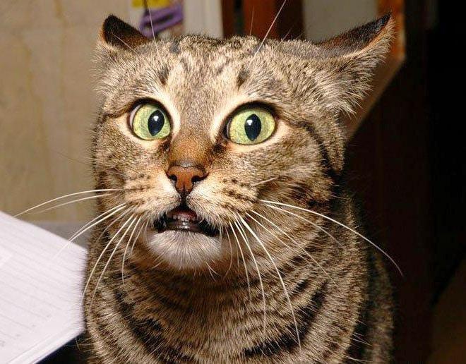 смешная кошачья морда