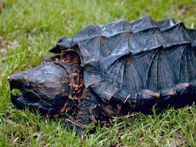 необычная черепаха