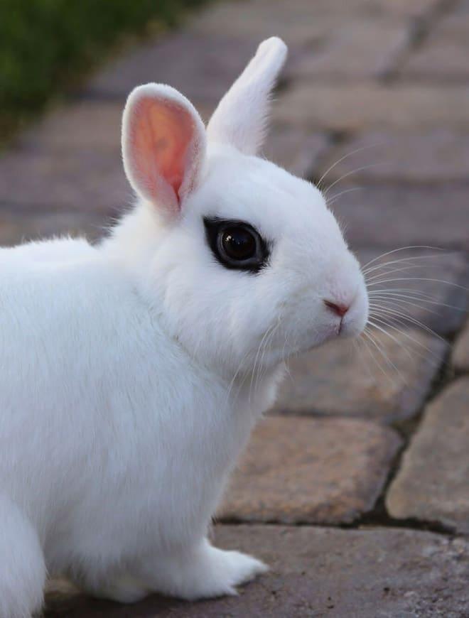 кролик с черными глазами