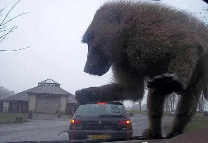 обезьяна на машине