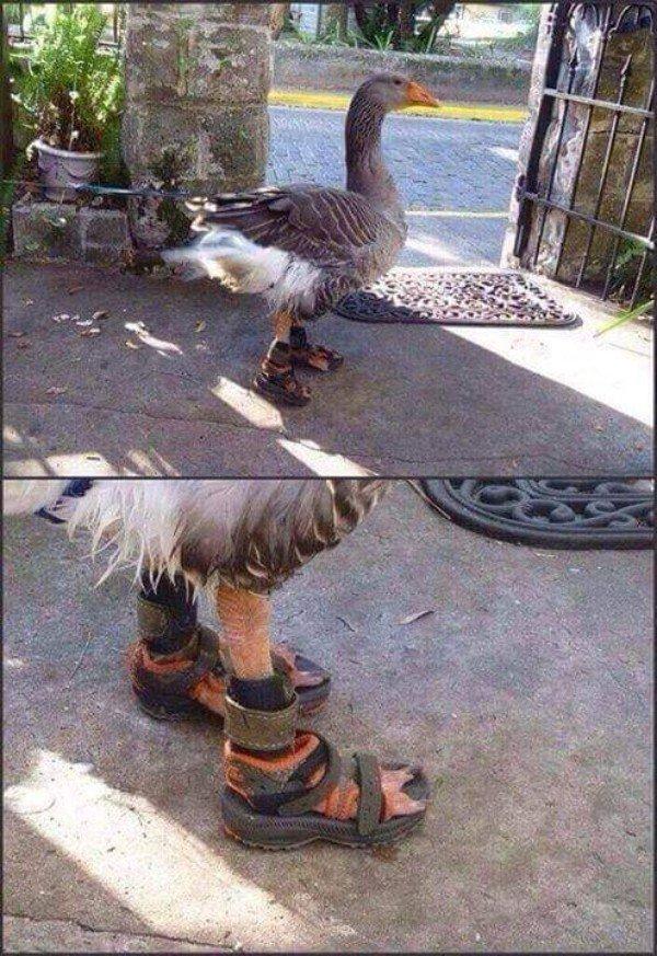 гусь в сандалиях