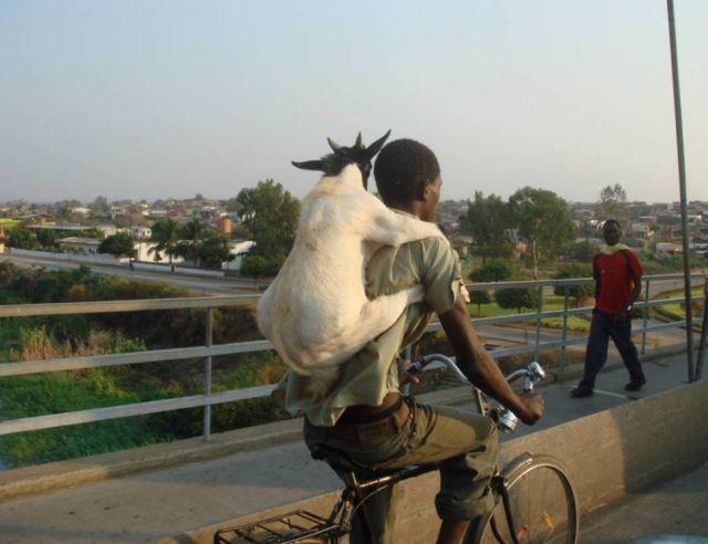 коза на спине у велосипедиста