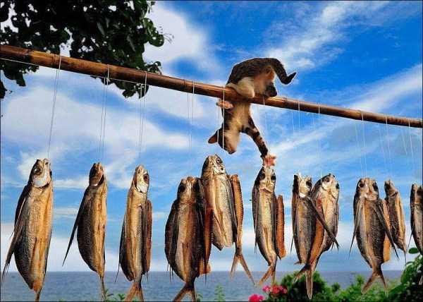 кот ворует сушеную рыбу