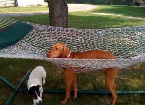 собака застряла в гамаке