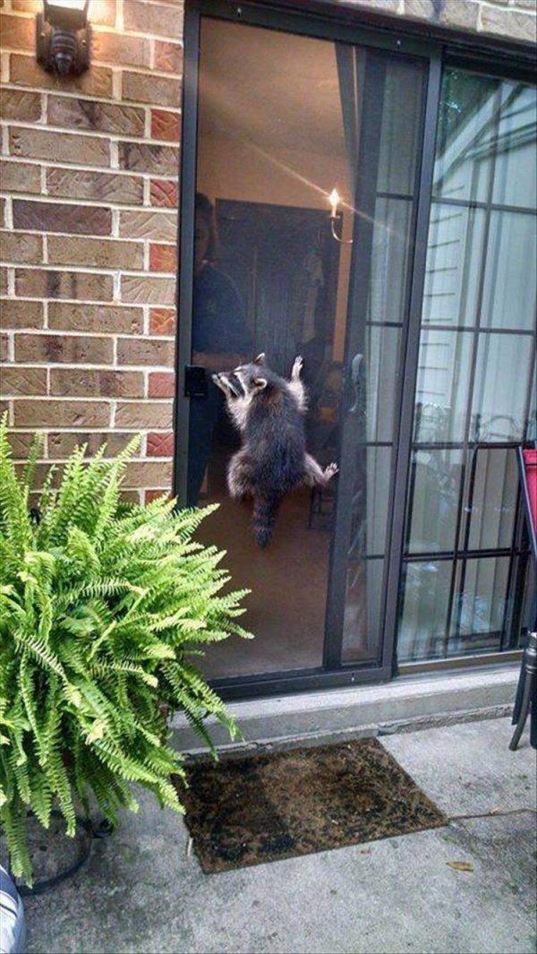 енот висит на двери
