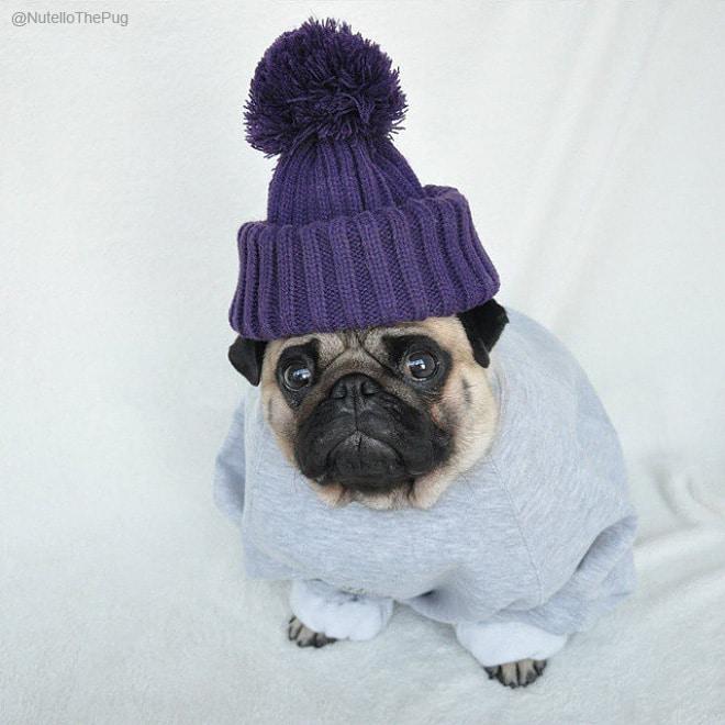 мопс в шапке и свитере