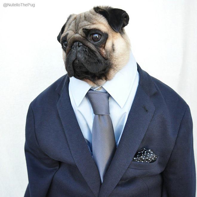 мопс в костюме и галстуке