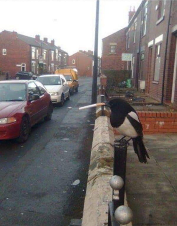 сорока с сигаретой в клюве