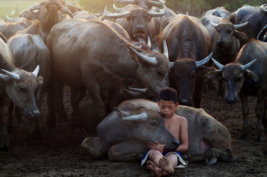 мальчик сидит с буйволами на земле