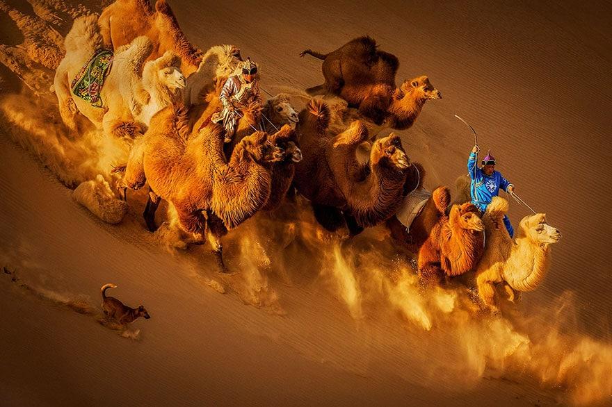 верблюды несутся по песку с погонщиком и собакой